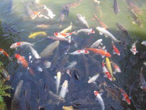 たくさんの鯉