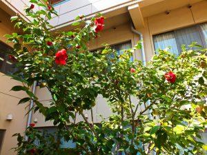 香色苑の中庭にある椿の木