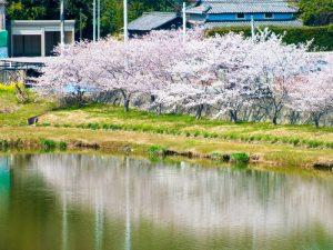 引妻池の桜
