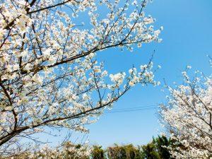 ケアハウス弘恩にある桜の木