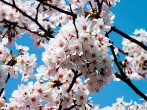 香色苑にある桜の木