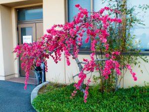 香色苑にある花桃