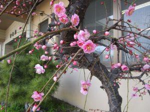 香色苑にあるしだれ梅の木