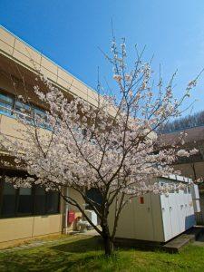 香色苑の中庭にある桜の木