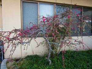 香色苑にある花桃の木