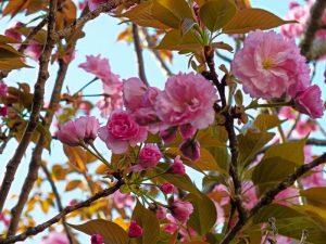 弘恩苑にある八重桜の木