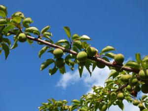 弘恩苑の梅の木