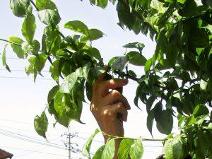 利用者の皆さんで梅の実を収穫
